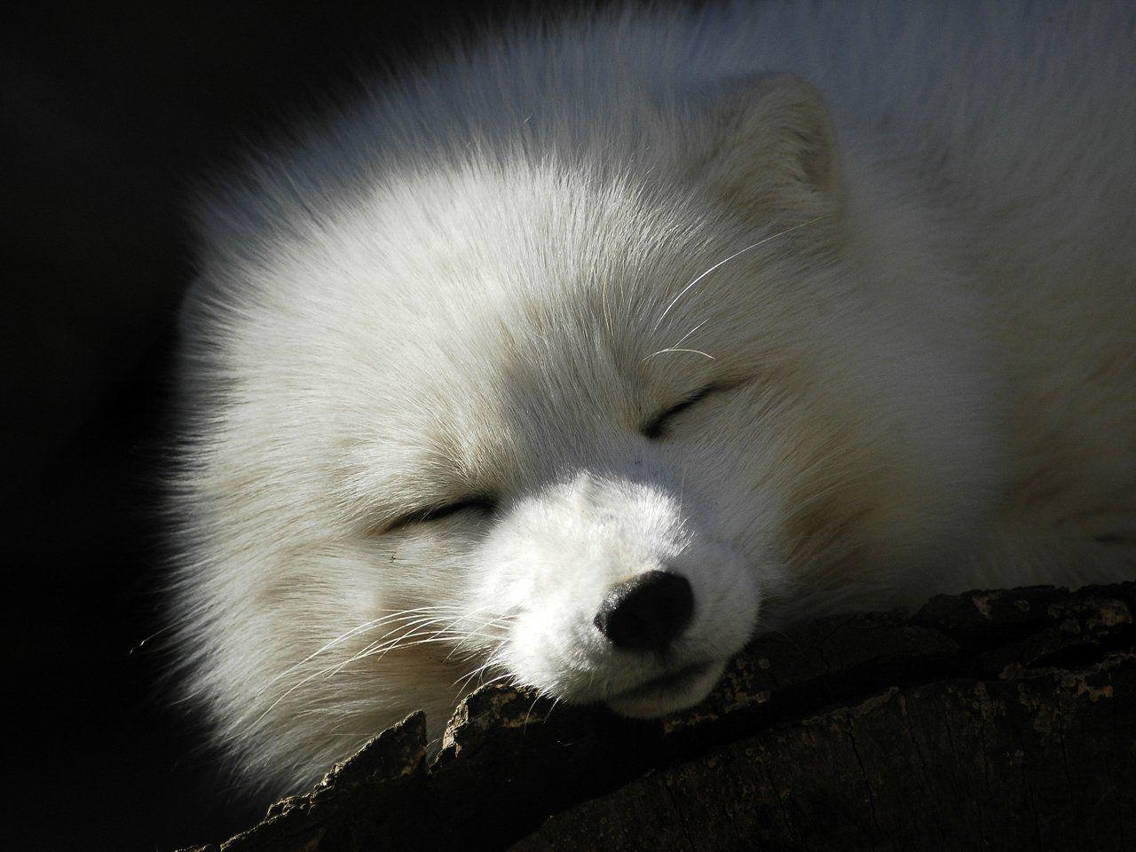 Google themes fox - Foxes
