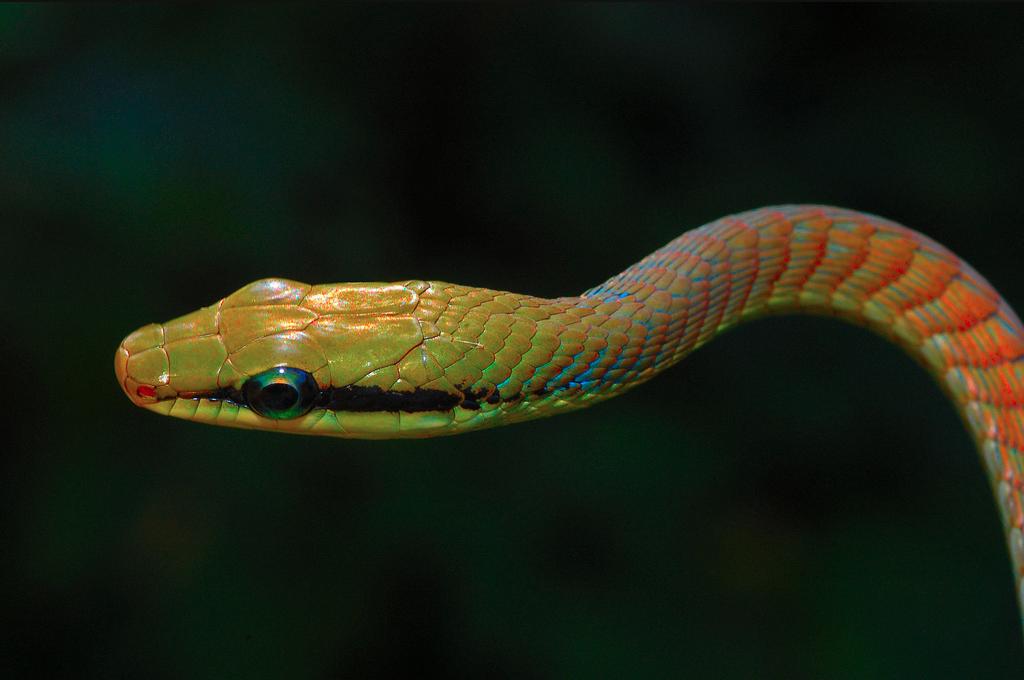 Dendrelaphis girii