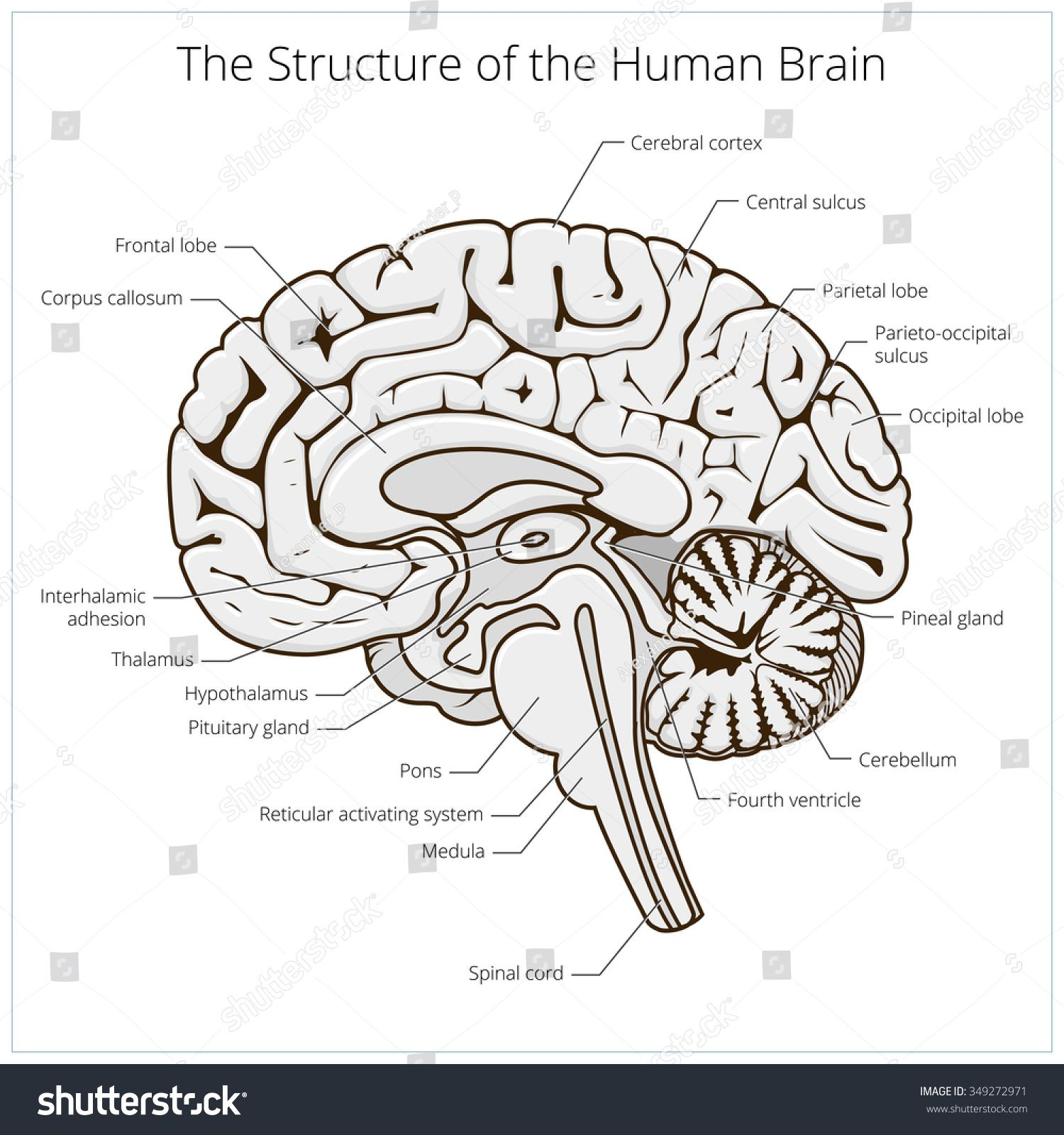 Structure Of Human Brain Section Schematic Vector Illustration Medical Science Educational Illustration Structure Of Human Brain Brain Images Human Brain [ 1600 x 1500 Pixel ]