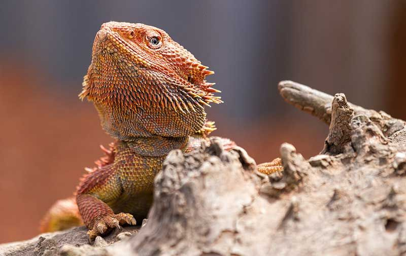 baby bearded dragon cage - Google Search | Bearded dragon ...