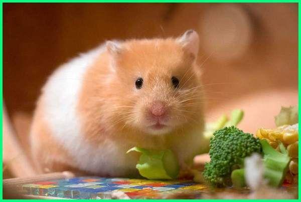Makanan Hamster Anggora Makanan Hamster Agar Cepat Besar Makanan Hamster Buatan Sendiri Makanan