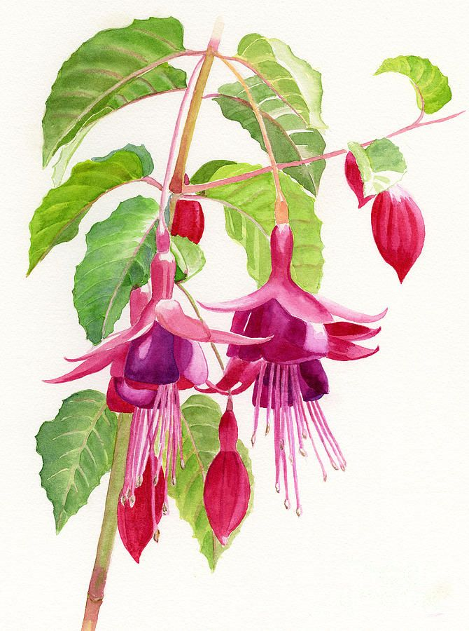 Red And Purple Fuchsias By Sharon Freeman Floral Painting Flower Painting Watercolor Flowers Paintings