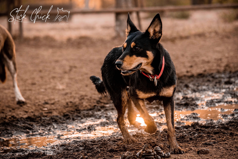 I M Walkin On Sunshine Woa Oho Throwback Kelpie Workingdog Grace Australian Kelpie Working Dogs Australian
