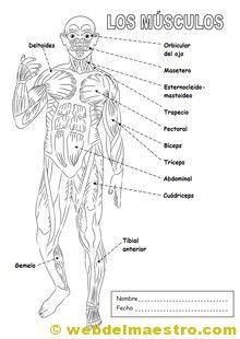 Sistema locomotor | Sistema muscular para niños, Sistema muscular ...