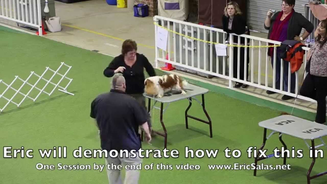 Training A Show Dog To Stand Without Moving Puppy Obedience