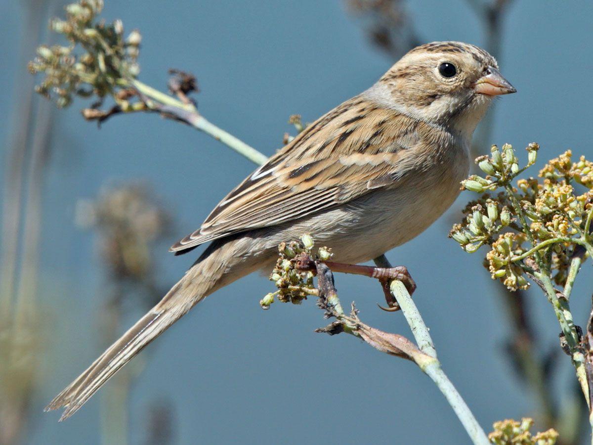 Clay Colored Sparrow Spizella Pallida By Aaron Maizlish
