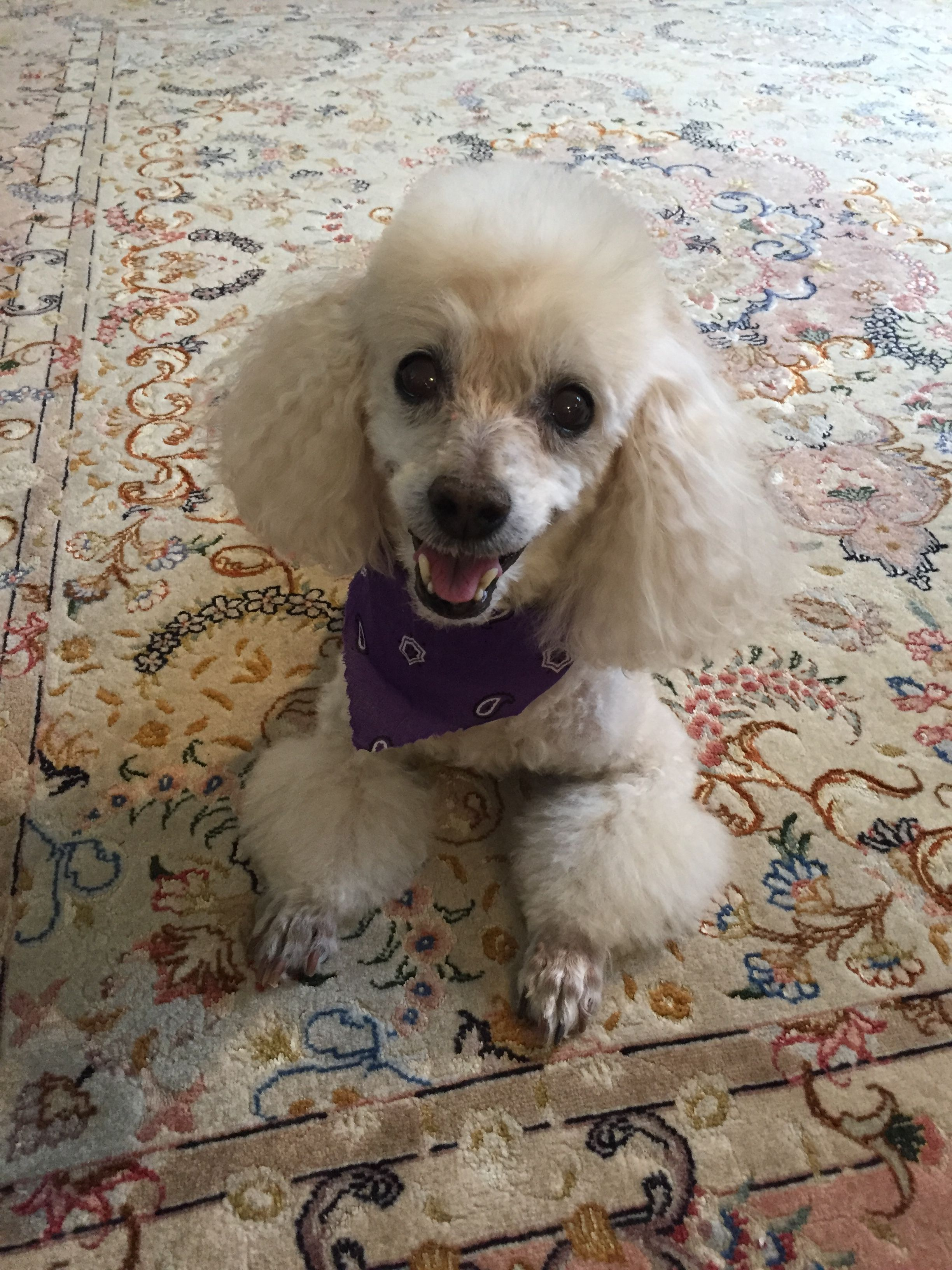 Love My 12 Year Old Toy Poodle Nicki Poodle Dog Pets Puppies