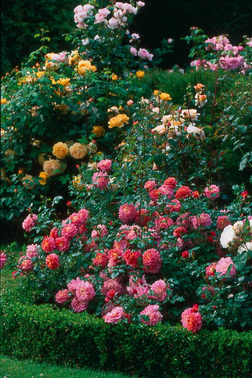 The Most Popular English Roses In America Growing Things