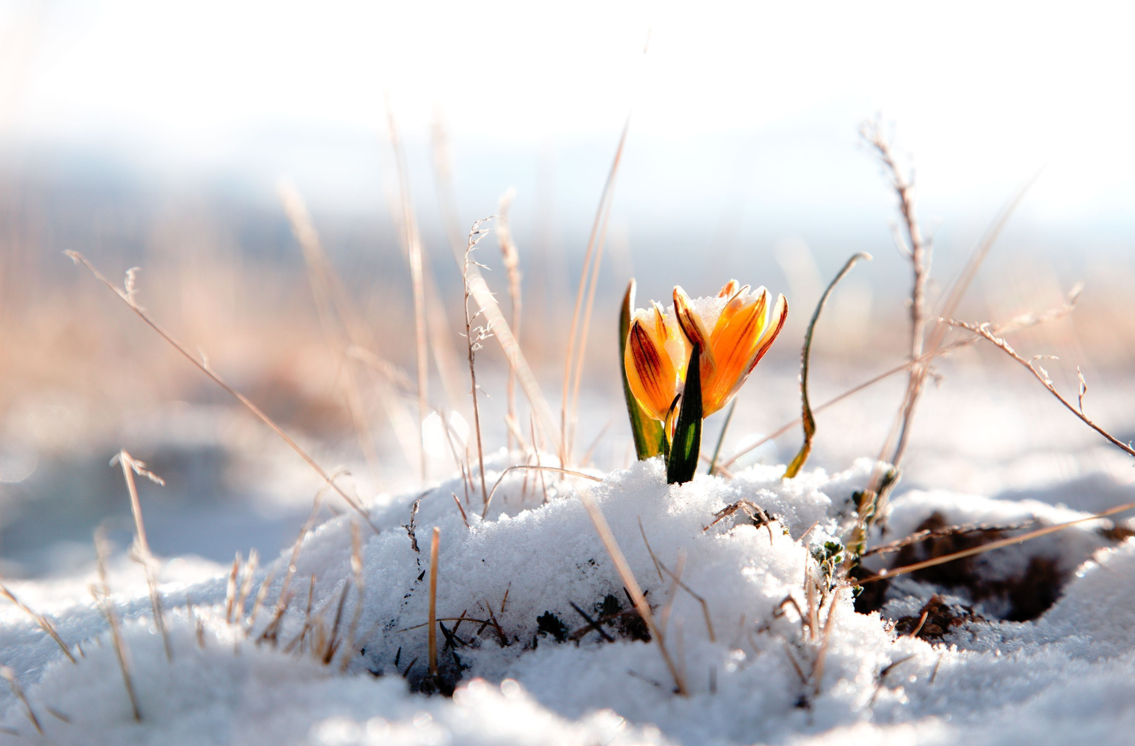 spring stirs under silent snow. ~terri guillemets | flowers