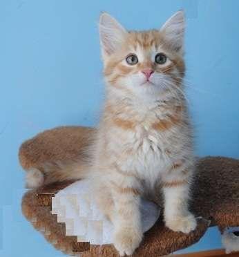 Kittens For Adoption Kitten And Cat Classifieds Siberian Cat Neva Masquerade Siberian Cat Pretty Cats Kitten Adoption