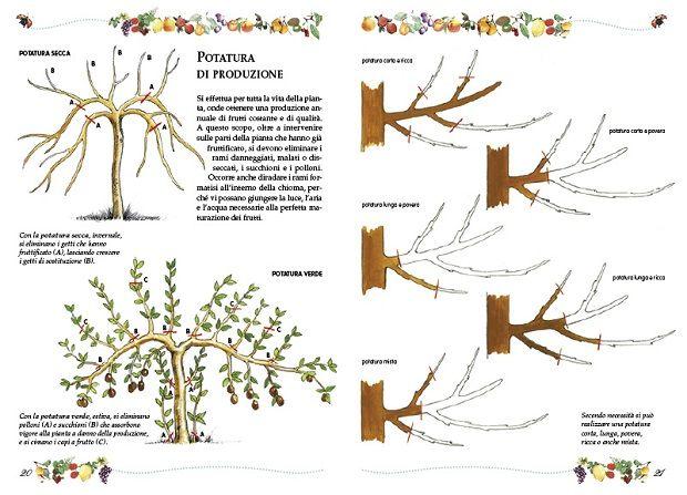 Alberi da frutto la potatura idee green garden - Calendario trattamenti piante da frutto ...
