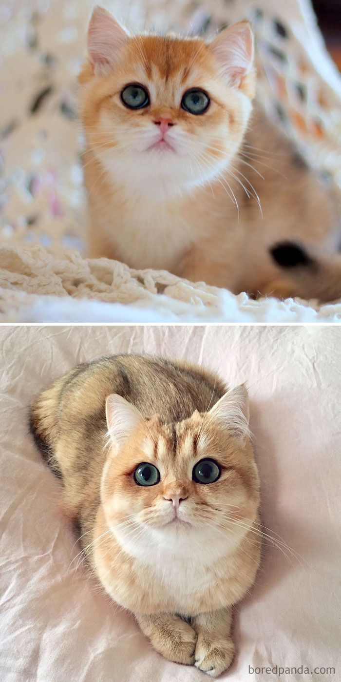 Golden British Shorthair Kitten Named Pumpkin Then And Now