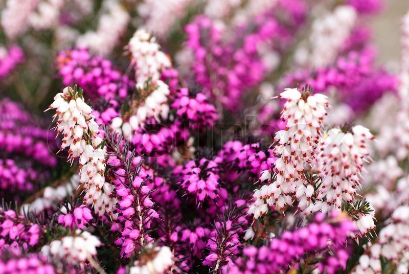 Different Heather Flowers Close Up Flower Background Shallow Deep Stock Photo Flower Backgrounds Heather Flower Flowers
