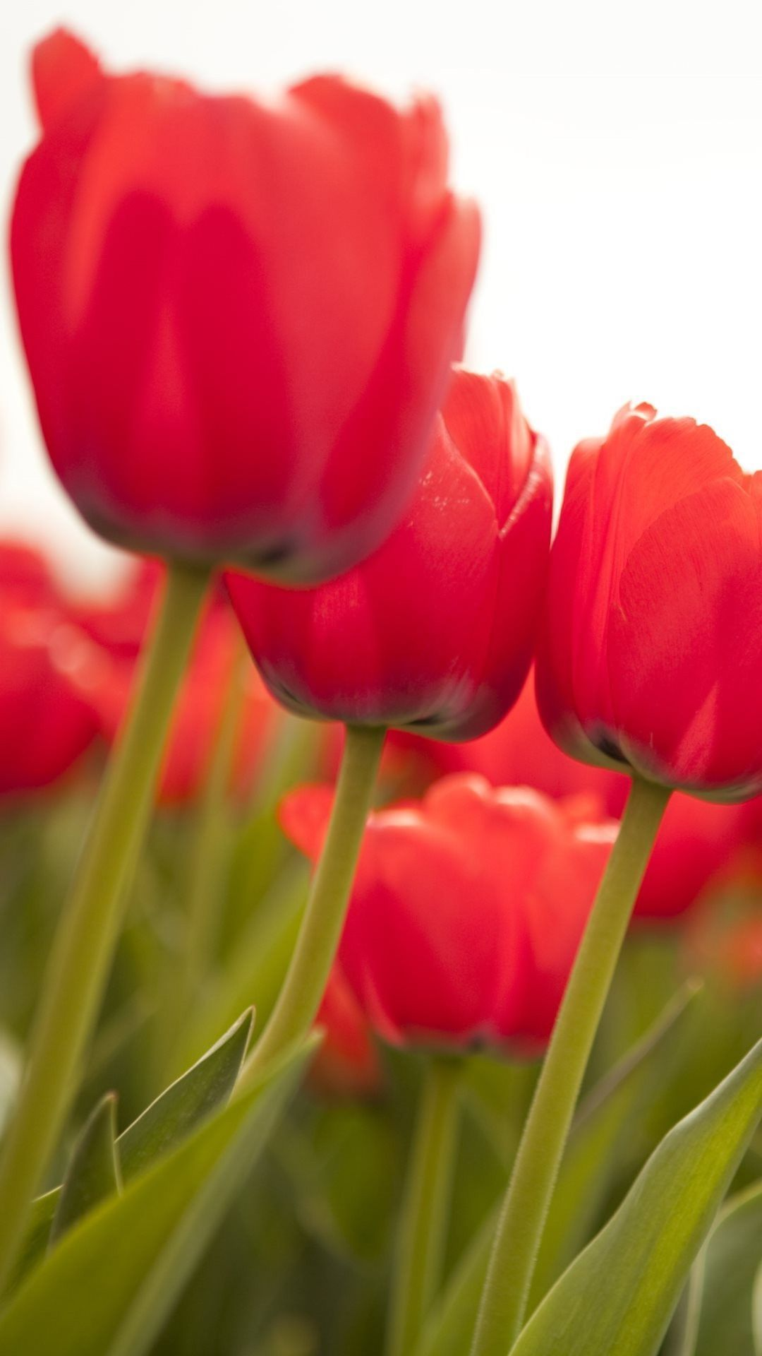 Red Tulips Mobile Wallpaper Nezhnosti
