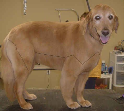 Golden Retriever Neatened But Not Shaved Above The Black Lines