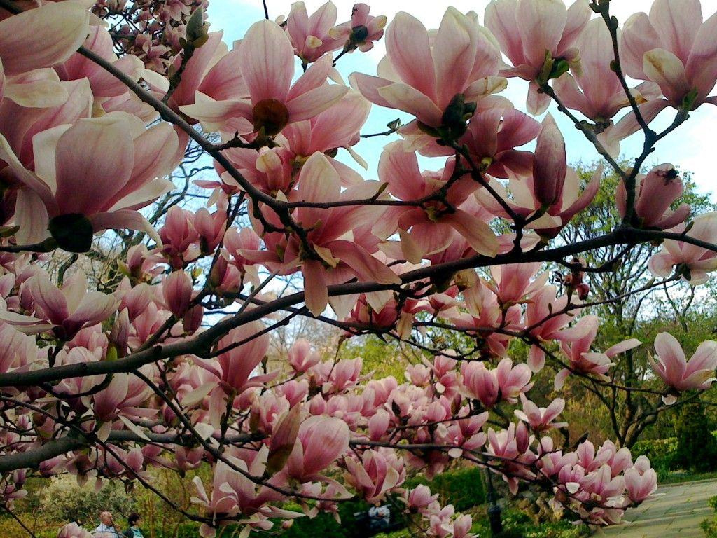 Magnolia Tree Home Garden Pinterest Magnolia Trees Flowering