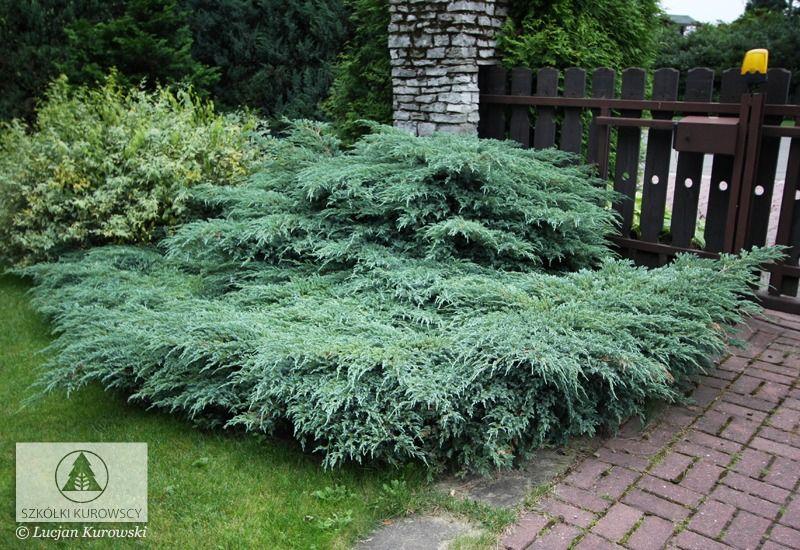 Juniperus Squamata Blue Carpet Juniper Blue Carpet Flaky Juniper Conifers Garden Evergreen Garden Plants