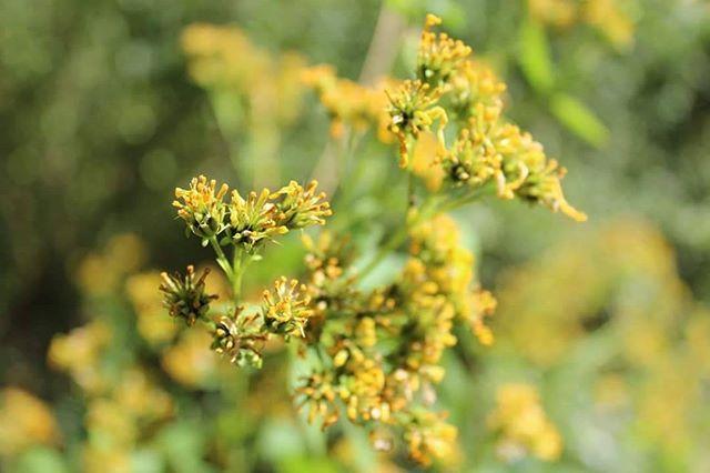 Yellow Flowers #flowers #photo #nature #bushes #trees #yellow #green #beautiful #beauty #photography #pictures #naturephotography #professionalpictures