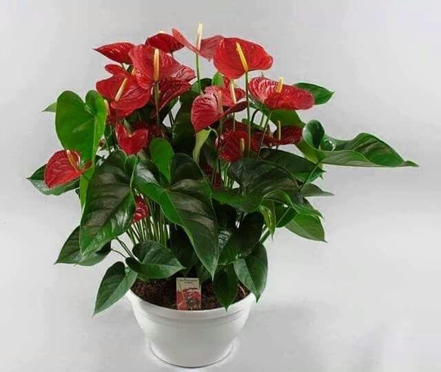 الانثريوم نبات ظل Anthurium Plant Images House Plants