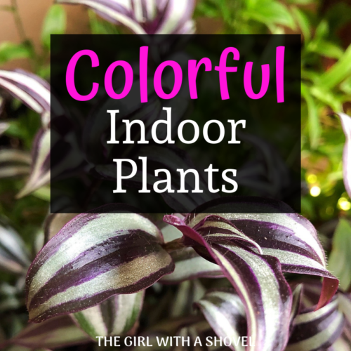 10 Colorful Indoor Plants for your Home | The Girl with a Shovel