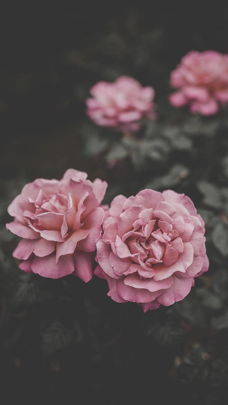 29 Romantische Rosen Iphone X Hintergrundbilder Flower Iphone Wallpaper Floral Wallpaper Wallpaper Iphone Roses