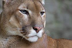 PUMA CONCOLOR es el segundo felino más grande más grande de Colombia después del jaguar. Su piel es de tonos habanos, cafés, rojizos o grises, pero no presenta variación, tal como lo describe su nombre en latín, concolor un solo color. Esta especie es de hábitos solitarios, pero dentro del territorio de un macho frecuentemente viven en promedio dos hembras, de las cuales el macho tiene derecho único de copula. [Leyenda tomada del portal de los Parque Nacionales, ESPECIE VULNERABLE]