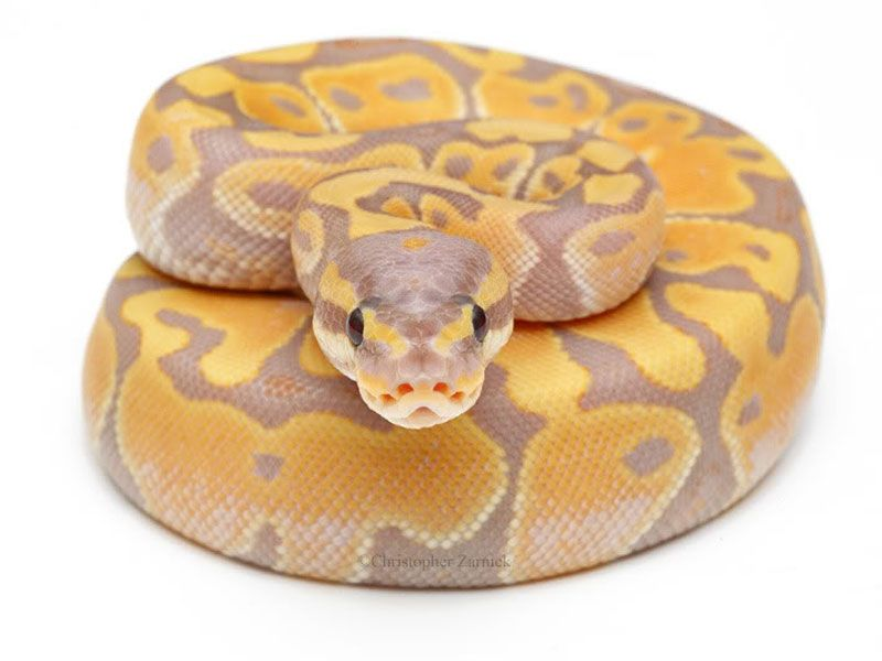 ball python morphs | Banana Ball - Morph List - World of Ball Pythons