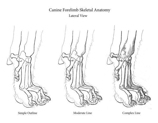 Dog Paw Bones Anatomy Skeletal Anatomy Of Canine Paw More Animals