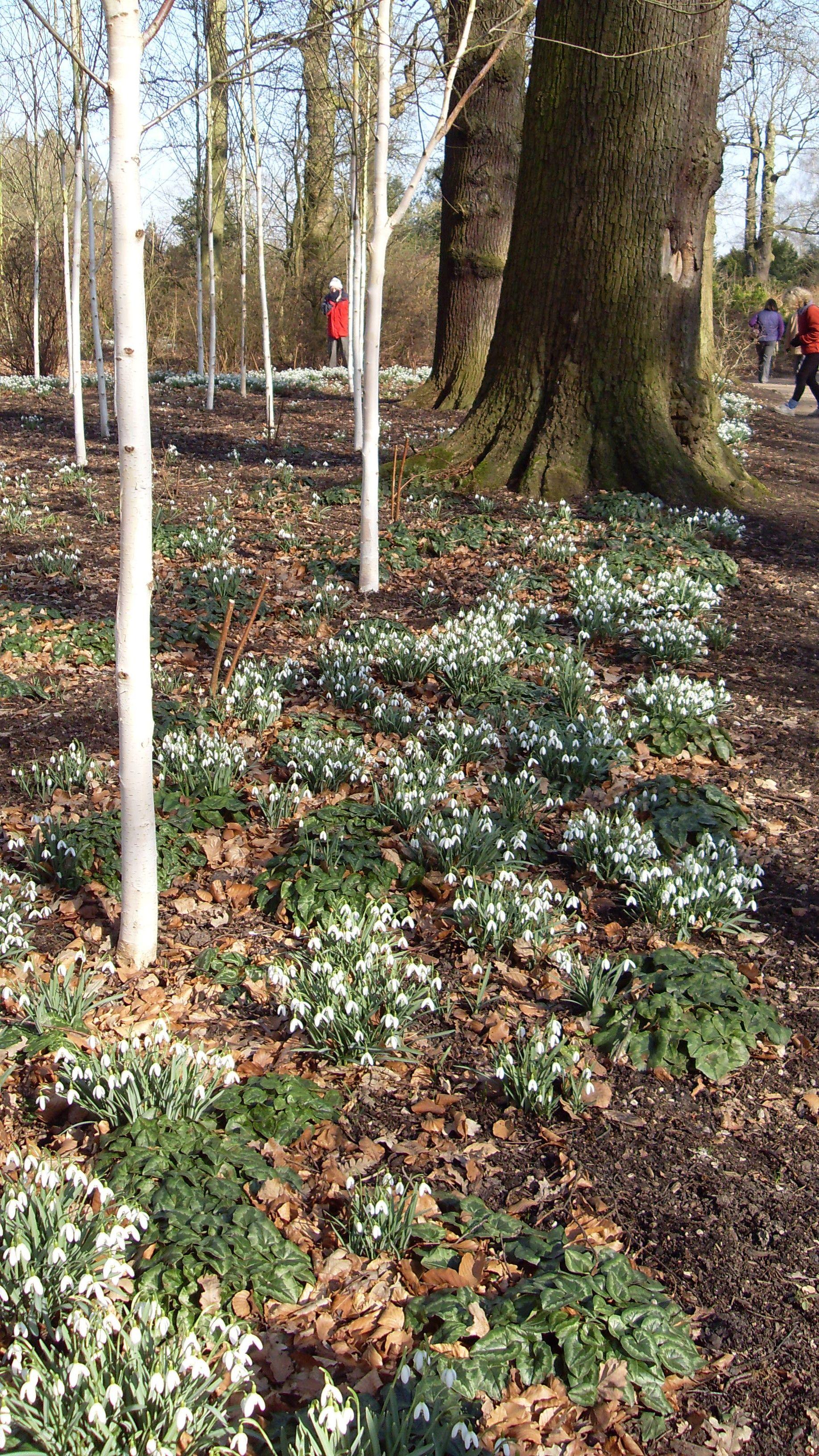 dunham massey winter garden snow drops will be out soon