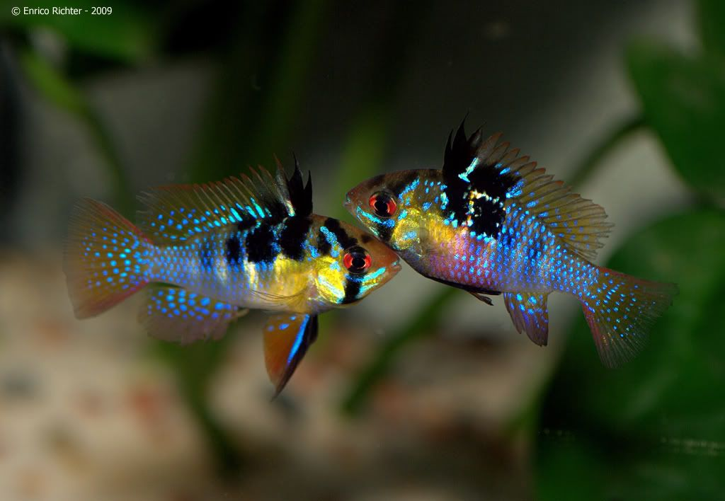 M Ramirezi Is Also Known By The Names Ramirez Dwarf Cichlid And Butterfly Cichlid And Is Among The More Widely Availa Aquarium Fish Cichlids Cichlid Fish