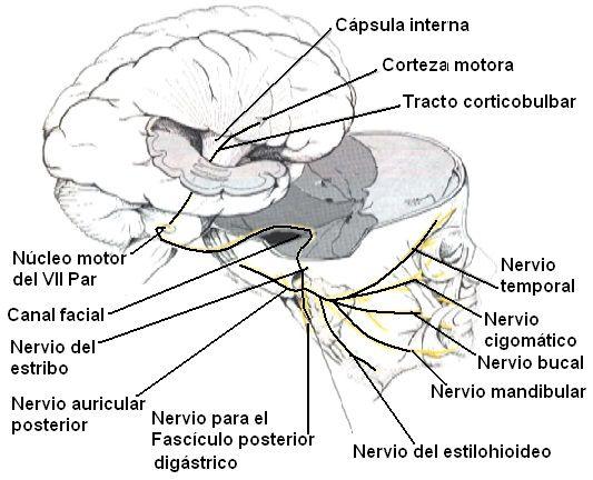 Resultado de imagen de anatomia nervio facial | N. FACIAL ...