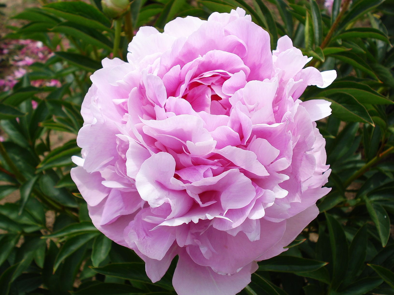 17++ When should peonies be cut back ideas