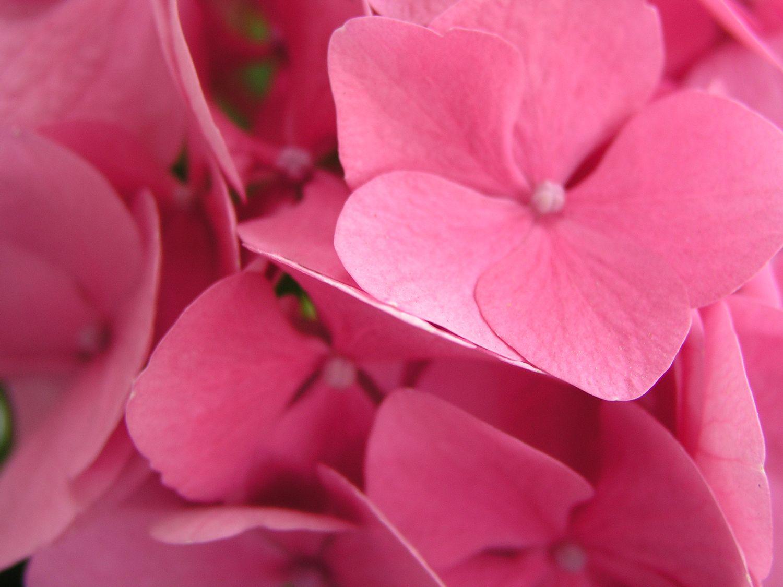 Ortensie rosa- 2004 - OLYMPUS OPTICAL CO.,LTD