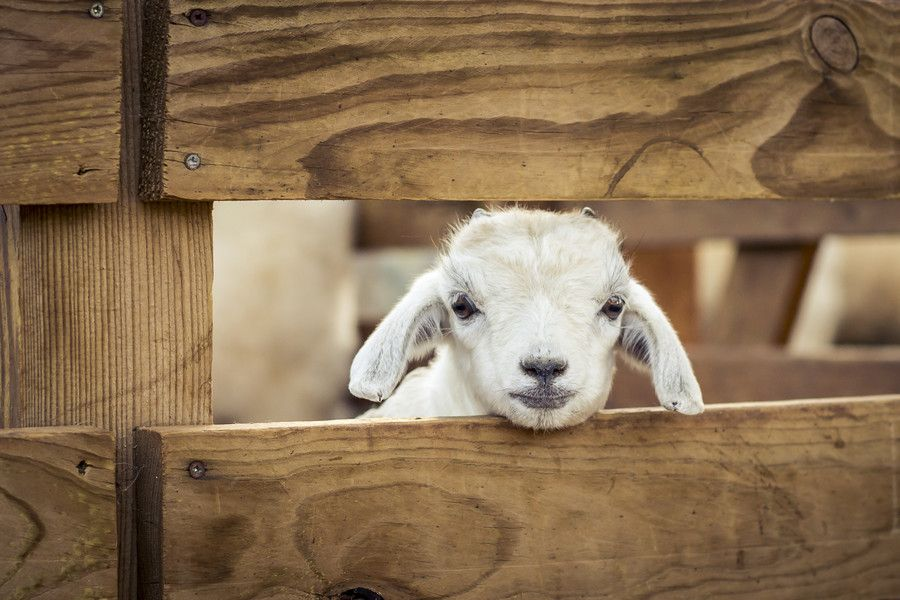 A Lucky Lamb by Amine Fassi on 500px