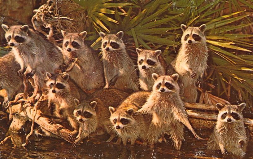 """A GAZE OF GAZING RACCOONS  """"RACCOONS GALORE!  These 13 (count them) little masked bandits are looking for a handout from passengers on the Congo Belle Adverture Cruise along the Weeki Wachee River. Weeki Wachee is located on Florida's West Coast, on..."""