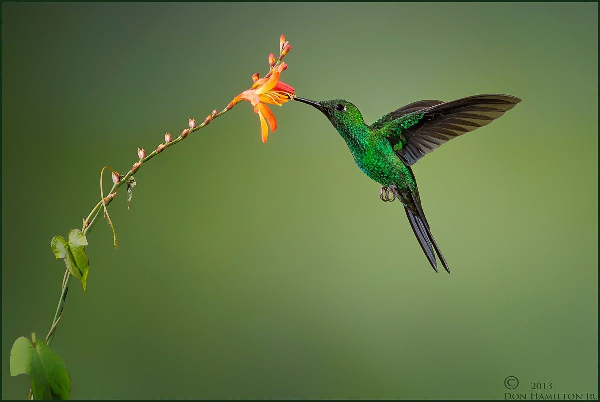 Green-Crowned Brilliant.  by Don  Hamilton Jr. - Photo 26406513 - 500px