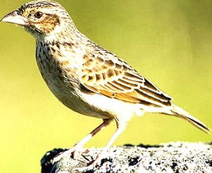 Download Mp3 Suara Kicau Burung Branjangan Suara