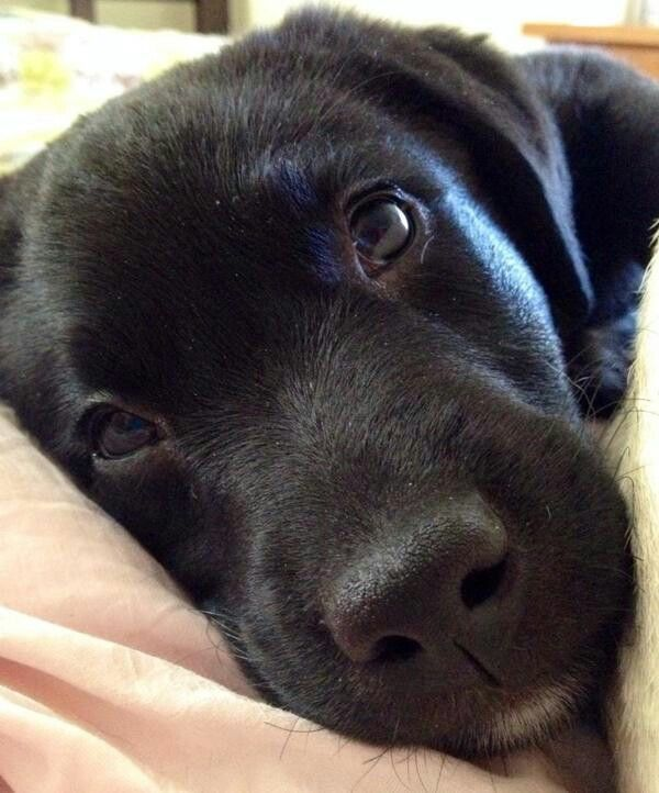 Beautiful Eyes Puppies Dogs Lab Puppies