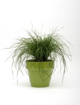 Monrovia S Finescape Lomandra Details And Information Learn More