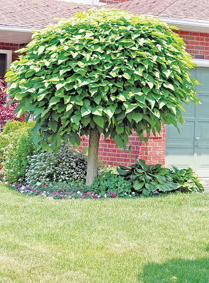 Umbrella catalpa species catalpa bignonioides 39 nana for Small trees for front yard zone 5