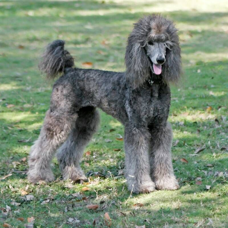 Poodle Top Knot Styles Google Search Poodle Dog Love