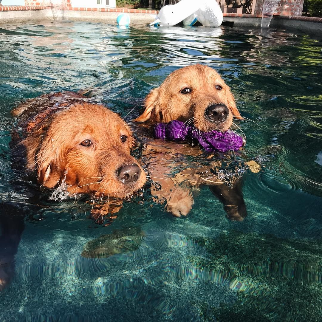 Camper And Honey Golden Retriever Crazy Dog Lady Pet Dogs