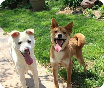 Manassas, VA - Shiba Inu/Jindo Mix  Meet Jazz a Puppy for