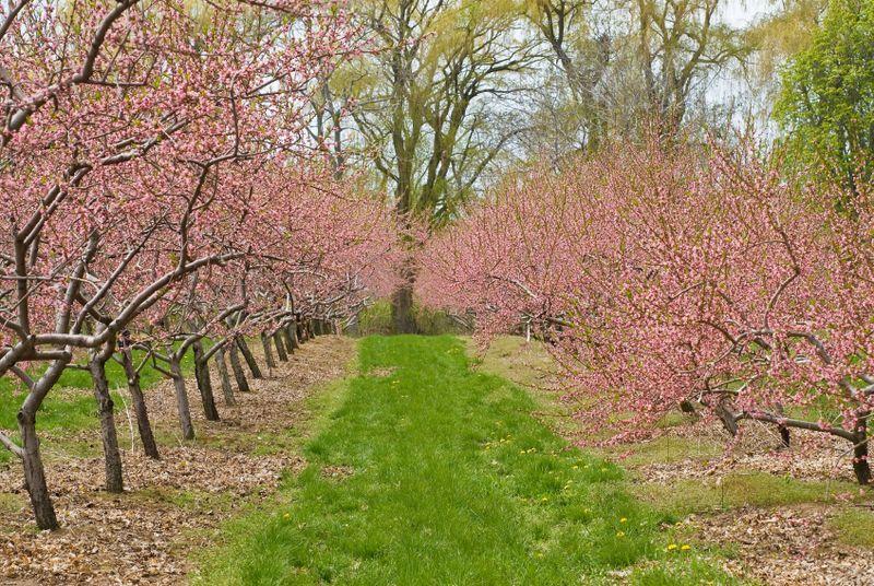 Istock 000012730164small Growing Cherry Trees Cherry Tree Cherry Fruit Tree