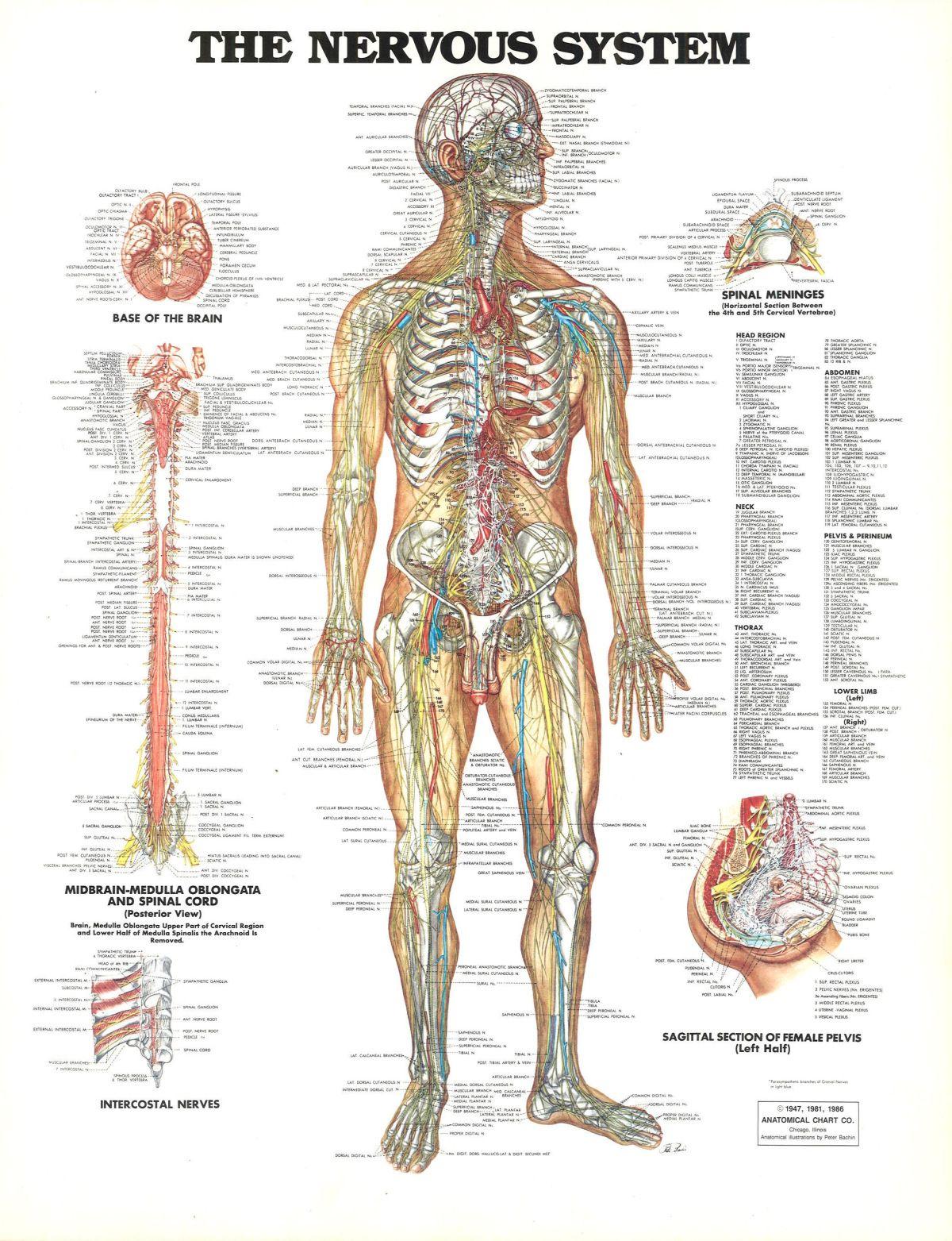 1947 1981 1986 Anatomical Chart Company Chicago Illinois Ilration By Peter Bachin