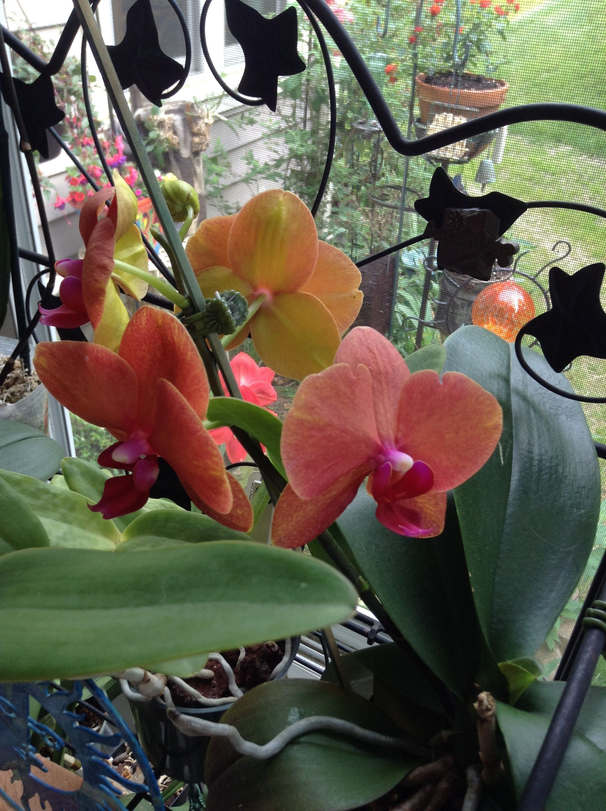Phal Surf Song Andyus Orchid Collection Pinterest