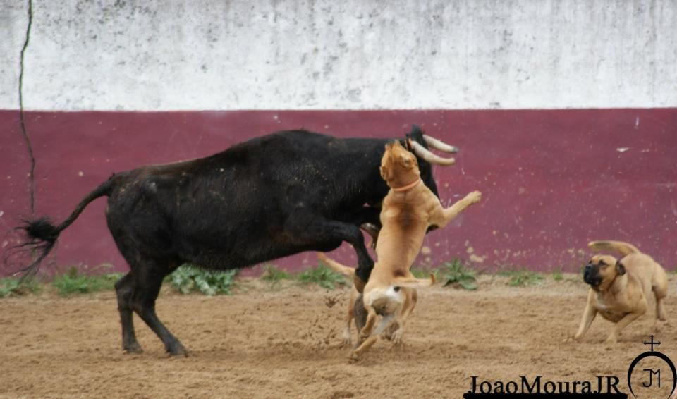 Bull Baiting Best Dogs Cane Corso Dogs