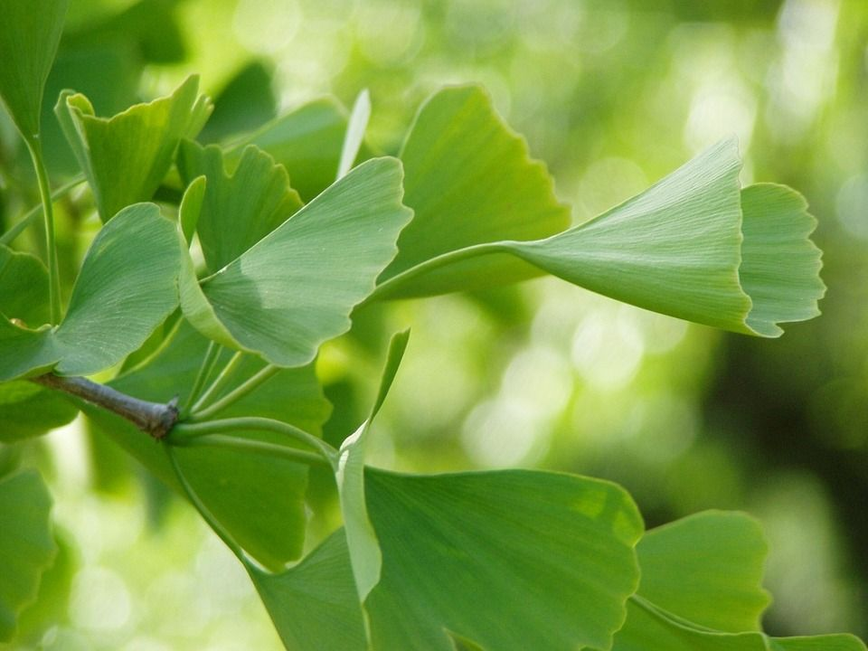 The Gingko tree can tolerate most anything. It does well in poor soil, compacted soil can withstand drought, winter salt and even air pollution. They are usually deep rooted and resistant to snow and wind damage. #landscape #forest #sunset #sky #clouds #sun #nature #green