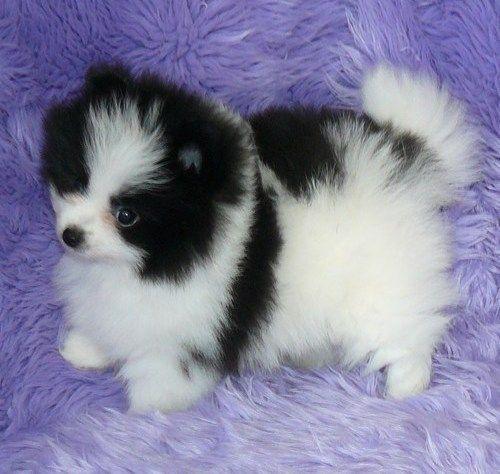 Pomeranian Puppies For Free Joyful Pomeranian Puppies For Adoption Free Albuquerque Pets Pomeranian Puppies For Free Cute Little Animals Pomeranian Puppy
