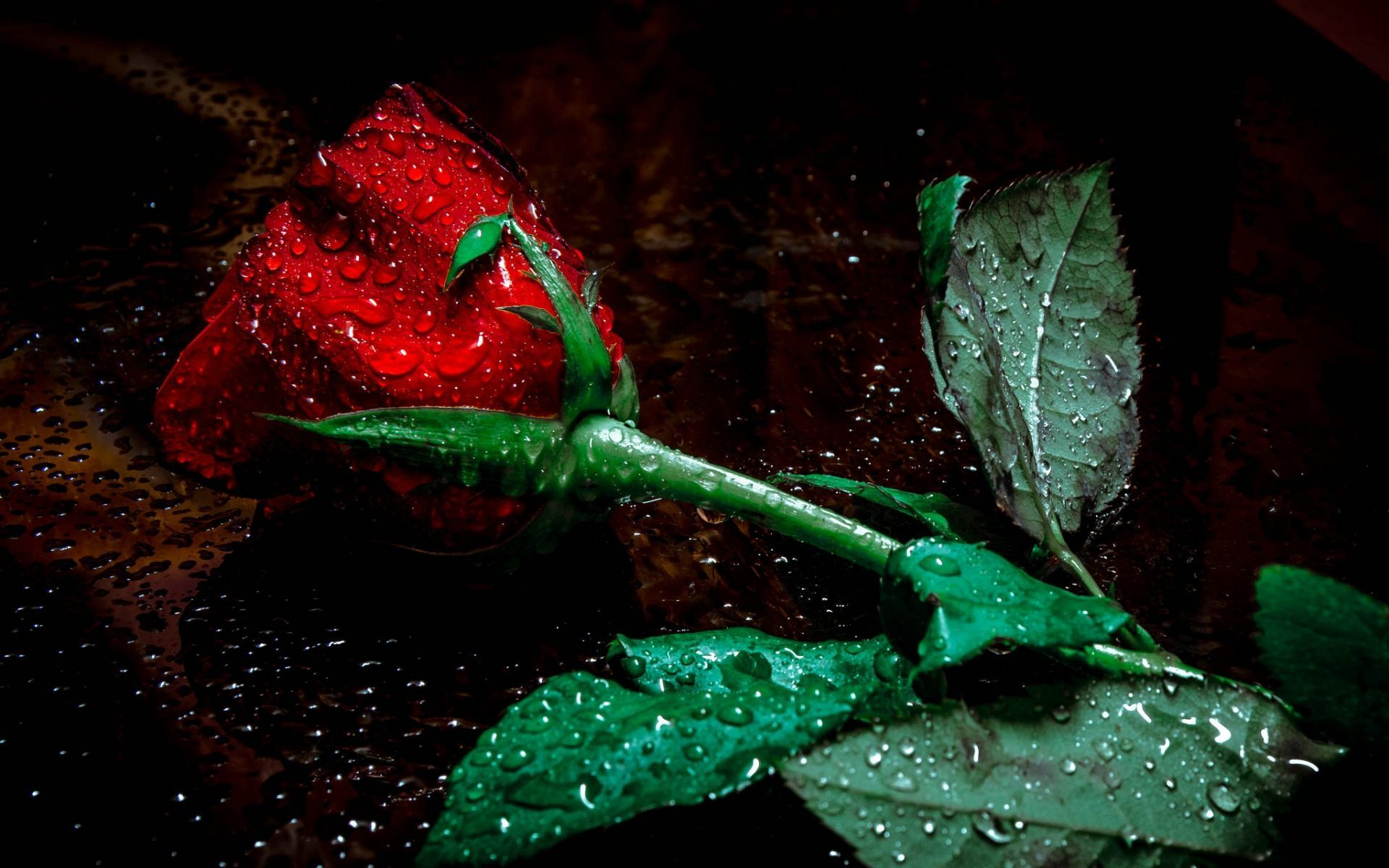 Red Rose Flower In Rain Wallpaper Jpg 1920 1200 Red Roses Wallpaper Beautiful Flowers Wallpapers Red Rose Pictures